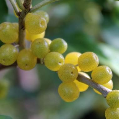 Geliebte Deaflora - Korallen-Ölweide Amber (Pflanze) &UW_65