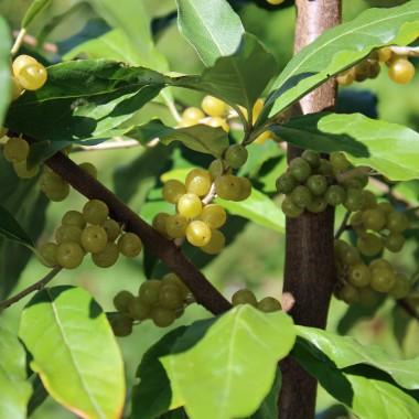Außergewöhnlich Deaflora - Korallen-Ölweide Amber (Pflanze) &HN_84