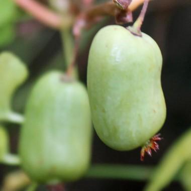 deaflora mini kiwi jade moon weiblich pflanze. Black Bedroom Furniture Sets. Home Design Ideas