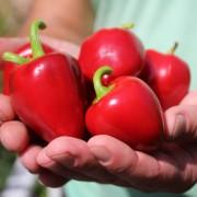 30 Samen große rote Paprika...super lecker süß und saftig