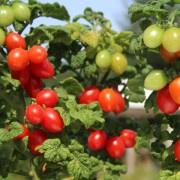 10 ISIS CANDY marmorirte Kirschtomate lange Ernte ertragreich robus süß Tomate