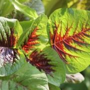 - 40 Samen Ipomaea Aquatica Wasserspinat Sehr gutes Gemüse aus Asien