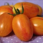 Paradicsom elpirul (bokor paradicsom) (növény)