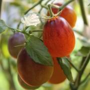 Paradicsom Indigo Kumquat (növény)