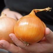 Gemüse Zwiebel Lang Rot Florence Mindestens 200 Samen